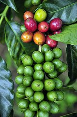 Pic by Neil Palmer (CIAT). Coffee in Darién, Colombia